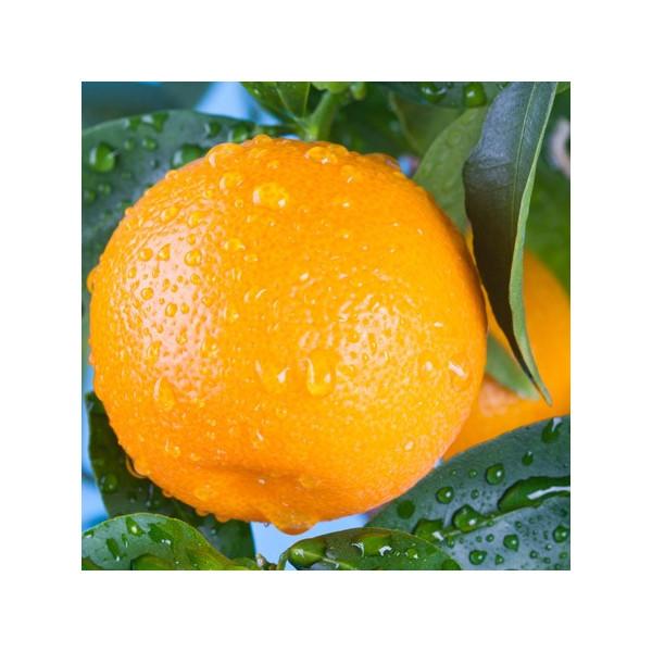 Mandarynka (Citrus Nobilis) olejek eteryczny