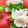 Kwiat jabłoni - esencja zapachowa