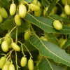 Olej z miodli indyjskiej (olej neem) nierafinowany