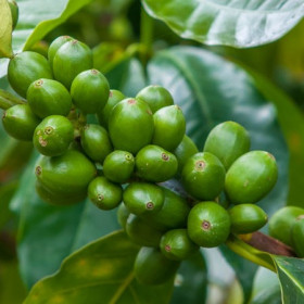 Olej z zielonej kawy nierafinowany