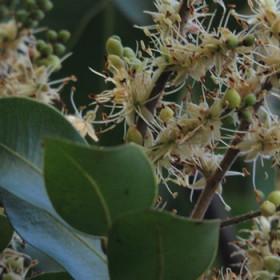 Balsam kopaiwa (copaiba)