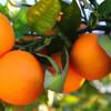Pomarańcza czerwona (Citrus sinensis) olejek eteryczny