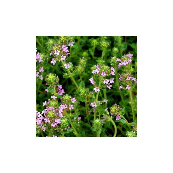 Tymianek czerwony (Thymus vulgaris) olejek eteryczny