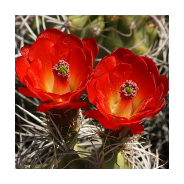 Fleur de cactus - esencja zapachowa