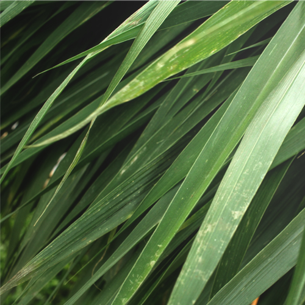 Olejek wetiwerowy (Vetiveria zizaniodes)