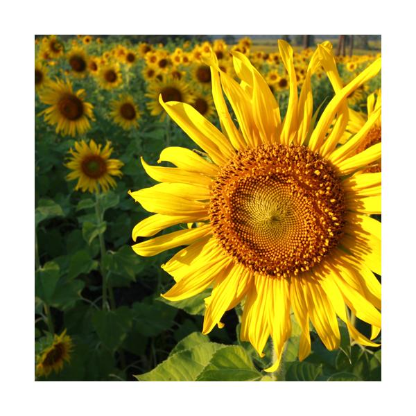 Olej słonecznikowy eko