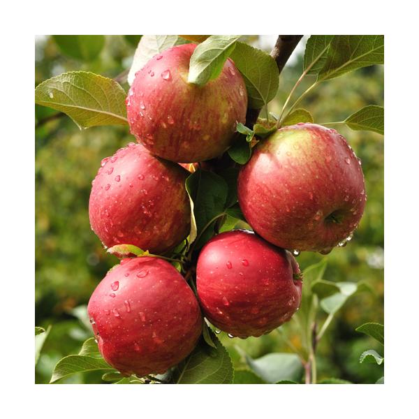 Olej jabłkowy, nierafinowany