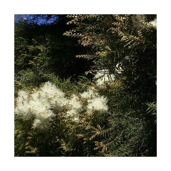 Olejek z Drzewa herbacianego (Melaleuca alternifolia)