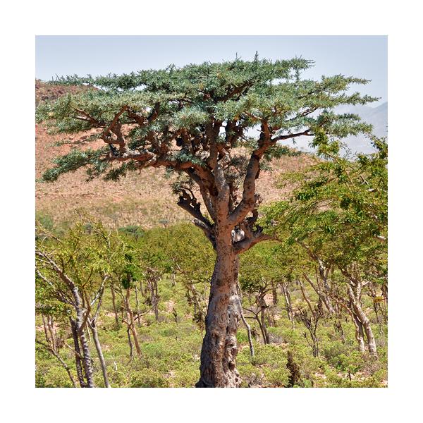 Olejek kadzidłowcowy (Boswellia Carterii) olibanum