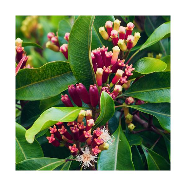 Olejek goździkowy z Goździkowca korzennego (Syzygium aromaticum)