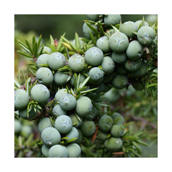 Olejek jałowcowy z szyszkojagód (Juniperus communis)