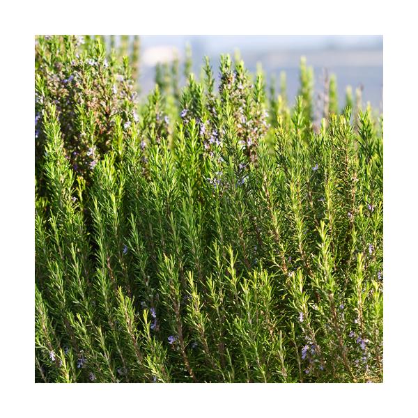 Olejek rozmarynowy (Rosmarinus Officinalis) kamforowy