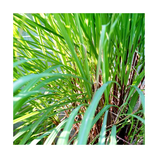 Olejek cytronellowy jawajski (Cymbopogon Winterianus)