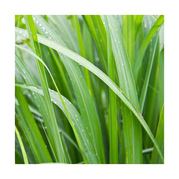 Olejek z Trawy cytrynowej (Cymbopogon flexuosus)