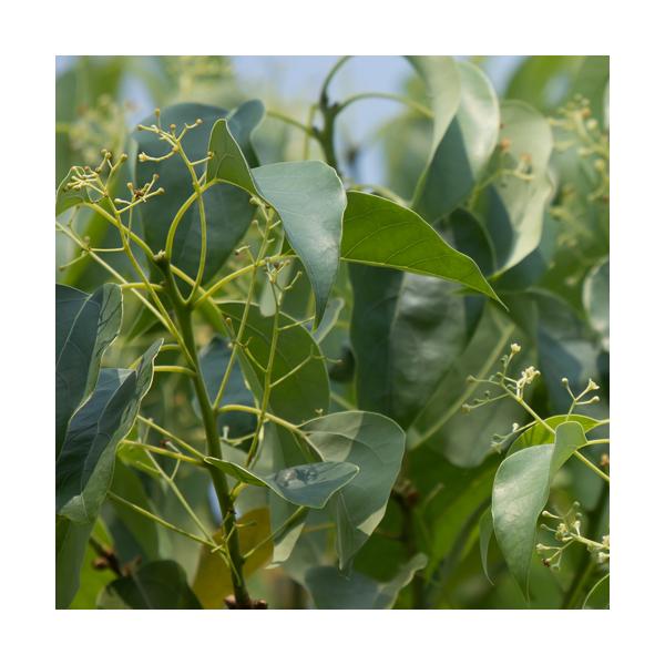 Olejek Drzewo Ho z drzewa kamforowego (Cinnamomum camphora)