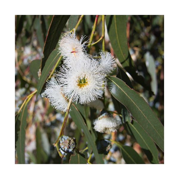 olejek eteryczny z eukaliptusa gałkowego