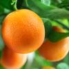 olejek eteryczny ze słodkiej pomarańczy