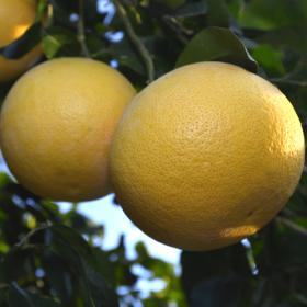 olejek grejpfrutowy z żółtych grejpfrutów