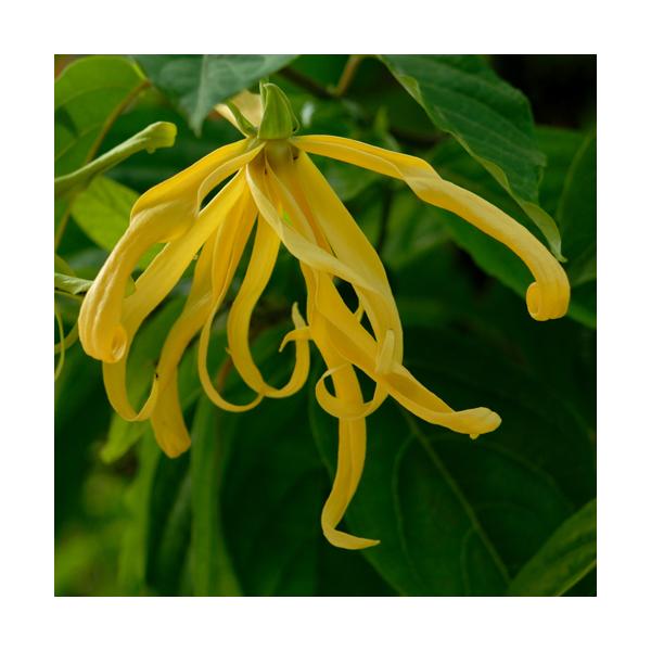 Olejek z kwiatów Jagodlinu (Cananga Odorata)