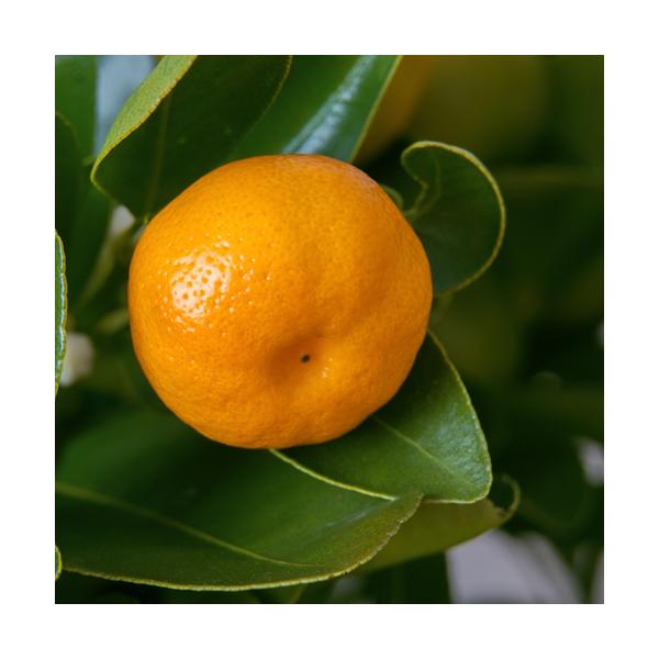 Olejek klementynkowy (Citrus nobilis), tłoczony