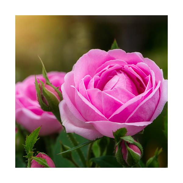 Olejek różany z róży damasceńskiej, absolut (Rosa damascena)