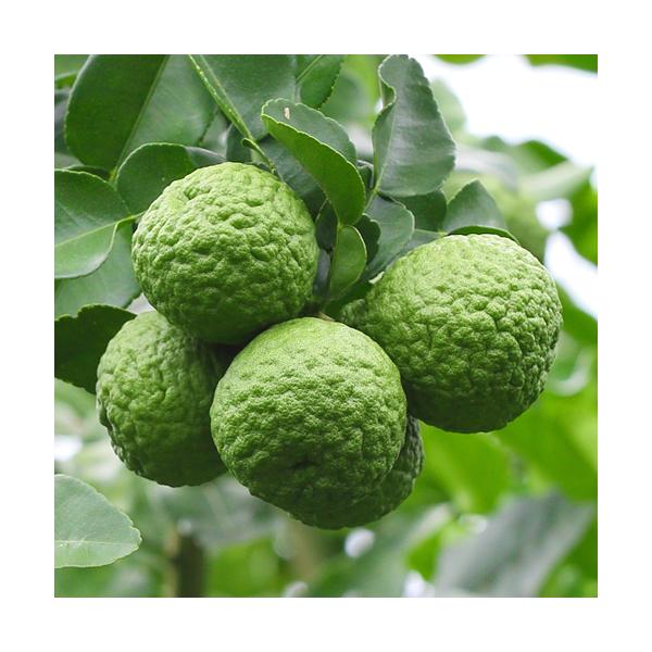 Olejek bergamotowy (Citrus Bergamia), typ FCF