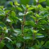 olejek majerankowy
