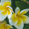Olej monoi de Tahiti