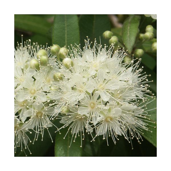 Olejek z Mirtu cytrynowego (Backhousia citriodora)