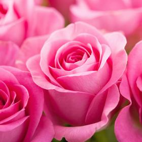 angielska róża olejek zapachowy do mydła, kosmetyków, świec