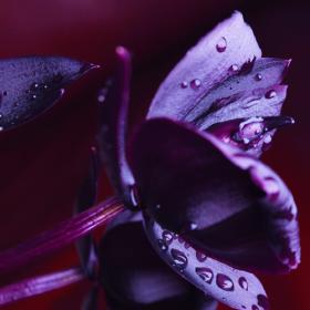 czarna orchidea olejek zapachowy do mydła, wosku, kosmetyków