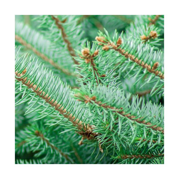 Olejek jodłowy (pichtowy) z Jodły syberyjskiej (Abies sibirica)