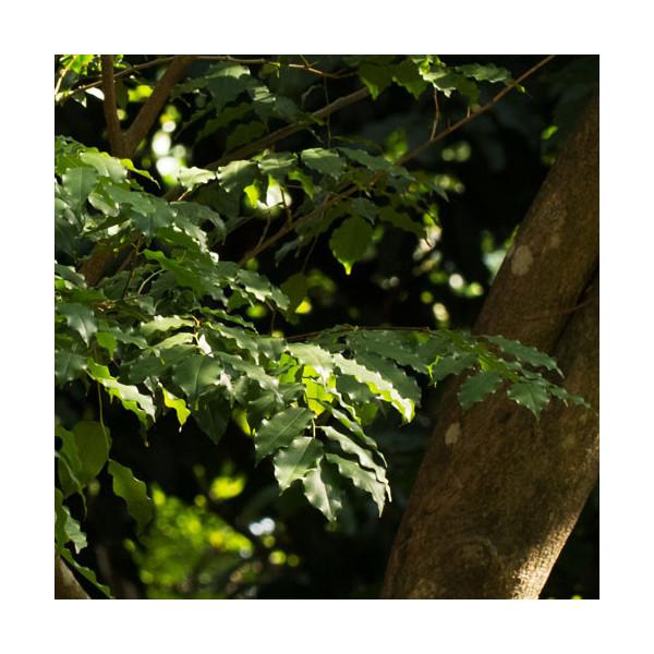 Balsam peruwiański (Myroxylon balsamum)
