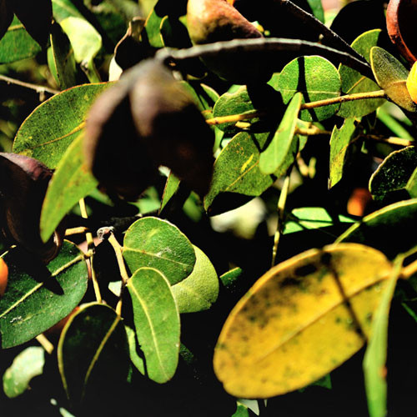 Balsam kopaiwa/copaiba (Copaifera reticulata)