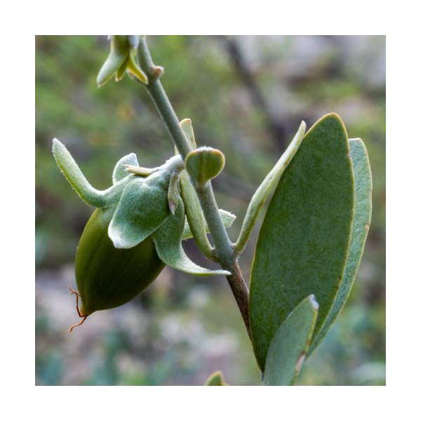 olej jojoba złoty zimnotłoczony z nasion Simmondsia chinensis