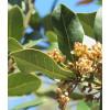 Wawrzyn szlachetny (Laurus nobilis)