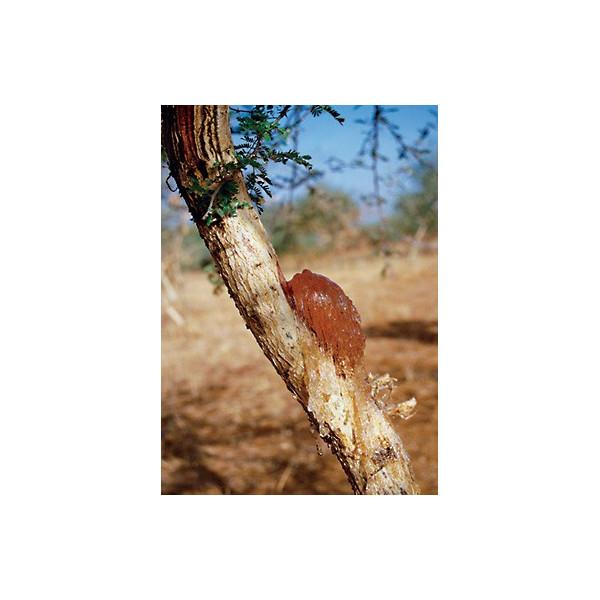 Guma arabska (senegalska)