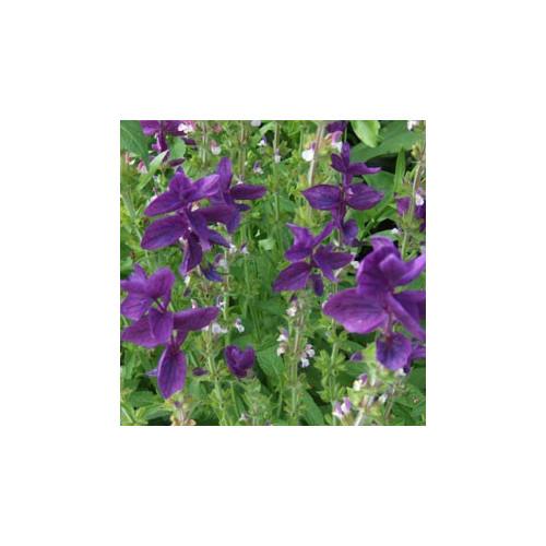 Szałwia muszkatołowa (Salvia sclarea)