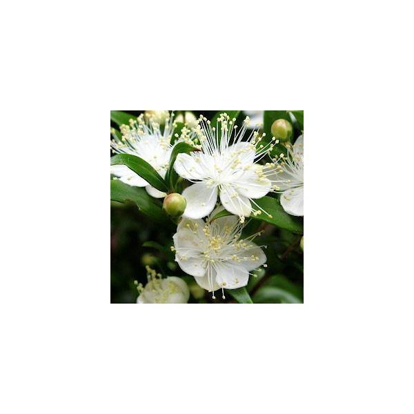Mirt zwyczajny (Myrtus communis)