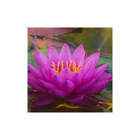 Lilie wodne - esencja zapachowa