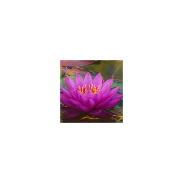 Water Lily, esencja zapachowa
