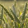 Olej z zarodków pszenicy nierafinowany