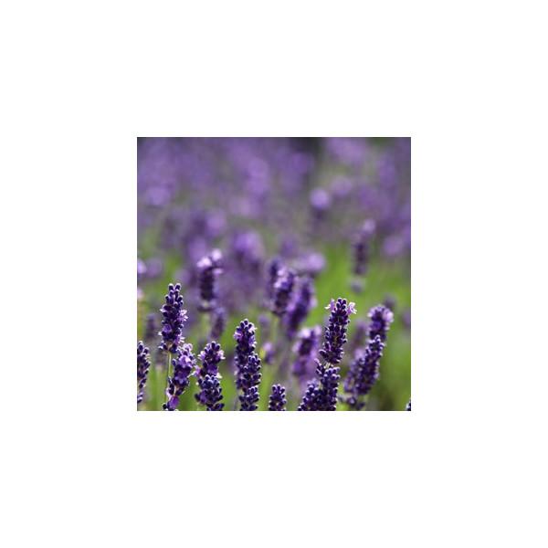 Olejek eteryczny lawendowy Maillette (Lavandula angustifolia)
