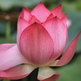 Indyjski Lotos - esencja zapachowa