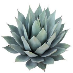 Niebieska agawa z czekoladą - esencja zapachowa