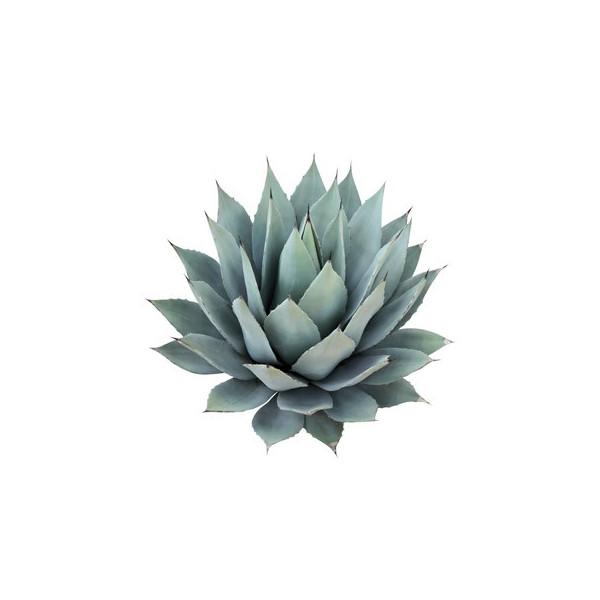 Niebieska agawa z czekoladą -olejej zapachowy