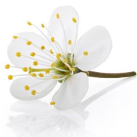 Kwiaty wiśni - esencja zapachowa