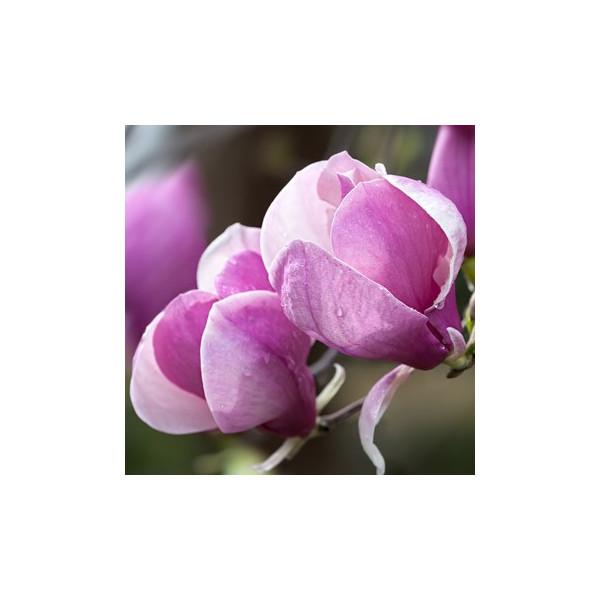 Magnolie z Fiołkami - esencja zapachowa