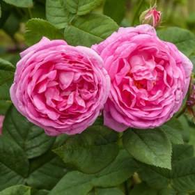 Róża stulistna absolut (Rosa Centifolia) olejek eteryczny